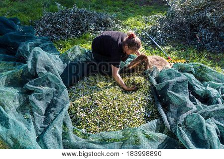 PELOPONNESE, GREECE - NOVEMBER 17, 2017: A woman works in an olive field during the harvest on November 11, 2017 in Peloponnese, Greece.