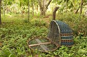 Handmade bird trap (bird name a water rail of the genera Rallus and Amauropsis) in rubber tree garden at the southern part of Thailand poster