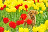 puppy Labrador play in  garden and tulips poster