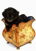 2 month old Yorkipoo Puppy lounges in a vintage-looking plant holder. This breed is a cross between a Yorkshire Terrier and a Poodle. poster