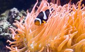 A brightly colored exotic fish ( nemo like )in between some coral poster