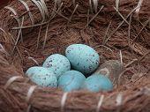 blue speckled eggs in nest basket tight shot poster