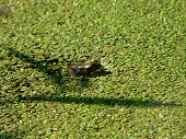 frog in a pond after the rain. poster