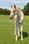 haflinger filly in a green meadow in summer poster