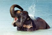 Cute Asian elephant splashing with water while taking a bath in Chitwan N.P. Nepal poster