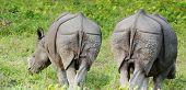 2 black rhino's in Chitwan N.P. Nepal poster
