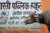holy cow in jaipur, india poster