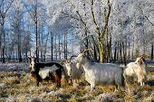 herd of goats in frozen winter landscape poster