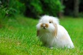 Cute white baby lop ear rabbit enjoying his freedom in the garden poster
