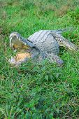 Big crocodile with mouth wide open in Zapata swamp area on caribbean island Cuba poster