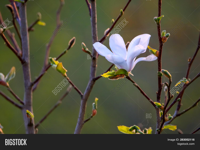 Flowering Magnolia Image Photo Free Trial Bigstock