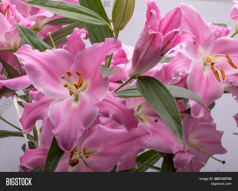 Close- Pink Liles Image & Photo (Free Trial) | Bigstock