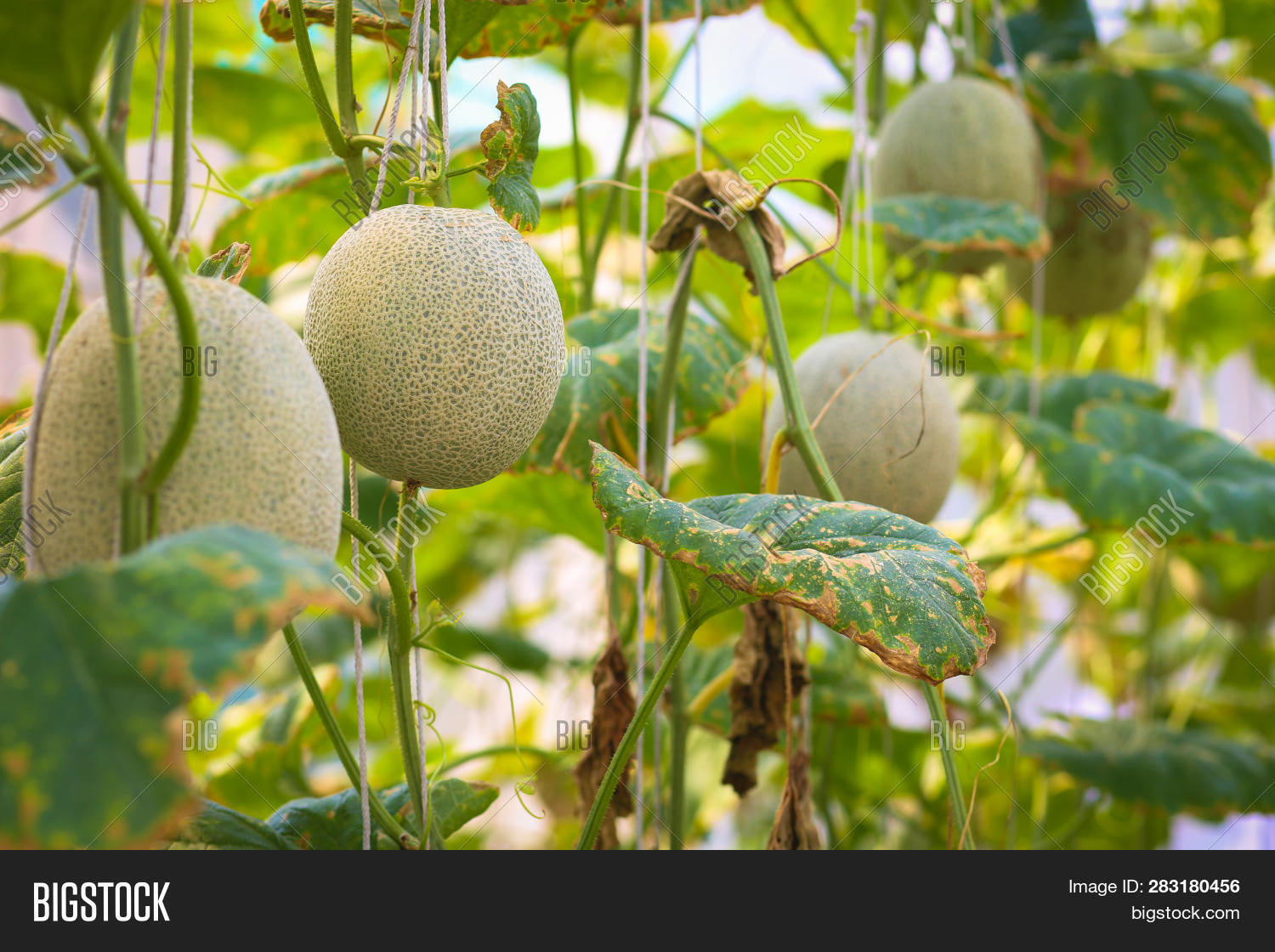 Cantaloupe Melons Leaf Image Photo Free Trial Bigstock View top rated cantaloupe leaves recipes with ratings and reviews. bigstock
