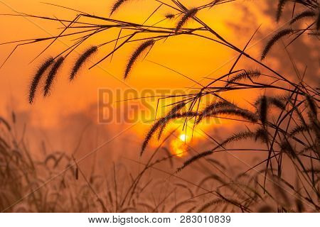 Grass Flower In The Morning At Sunrise With Golden Sunshine. Flower Field In Rural. Orange Meadow Ba
