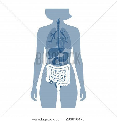 Vector Isolated Illustration Of Large And Small Intestine Anatomy In Male Body. Human Digestive Syst