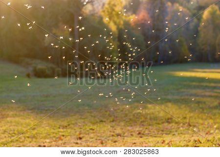 Mosquitos Swarm Flying In Sunset Light, Animals And Wildlife - Mosquitos