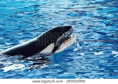 The Killer Whale Or Orca (orcinus Orca) Animals And Wildlife