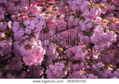 Pink Cherry Blossom Background. Ample Tree Buds. Wonderful Nature Scenery In Spring