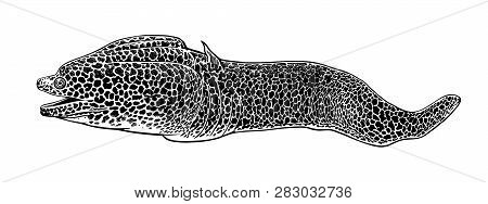 Decorative Fish Moray Isolated On White Background. Vector Illustration. Predator Animal Underwater