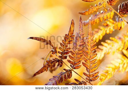 Autumn Leaf Background. Aged Fern Leaves Macro View. Aged Brown Yellow Forest Plant Dryopteris Filix