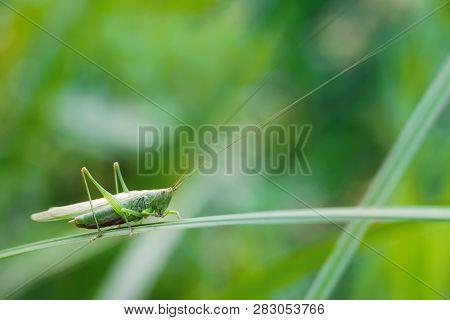 Grasshopper On A Grass Plant. Greenery Colors Image With Great Green Bush-cricket Tettigonia Viridis