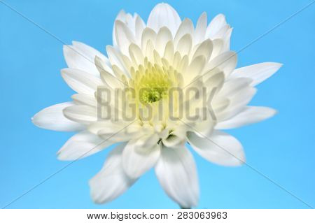 White Chrysanthemums Flower, Chrysanthemum Sp., On Blue Background