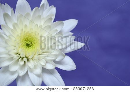 White Chrysanthemums Flower, Chrysanthemum Sp., On Purple Background