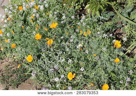 Orange Flowers Of California Poppy (eschscholzia Californica) And White Flowers Of Sweet Alyssum (lo