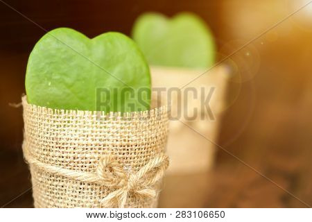 Closeup Twin Hoya Cactus In Sackcloth Flower Pot With Sun And Lens Flare On Wooden Table And Blurry