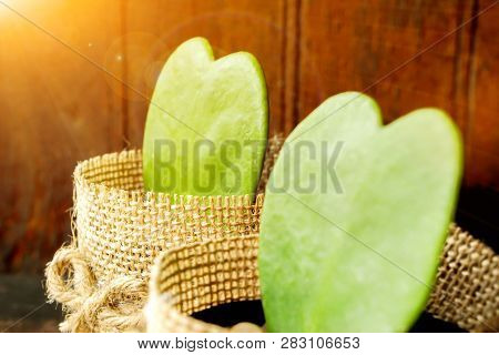Closeup Twin Hoya Cactus In Sackcloth Flower Pot With Sun And Lens Flare On Wooden Table And Backgro