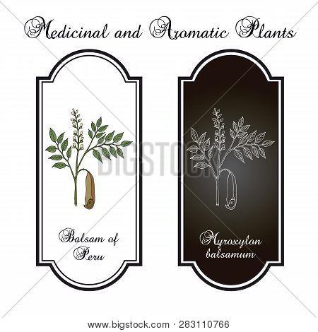 Balsam Of Peru Myroxylon Balsamum , Medicinal Plant. Hand Drawn Botanical Vector Illustration