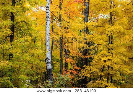 Michigan Autumn Forest Background. Beautiful Vibrant Fall Foliage With A Dusting Of Fresh Fallen Sno