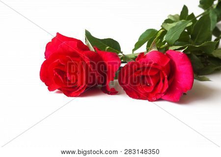 Beautiful Rose Flower Isolated On White Background .