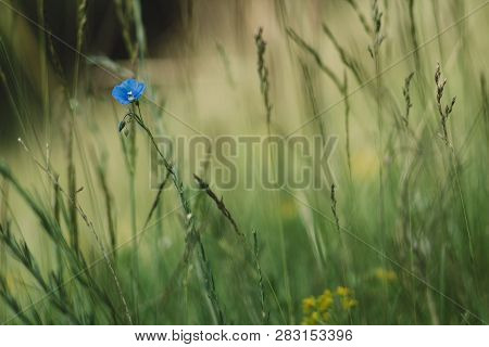 Forget Me Not Flower Small Depth Of Field