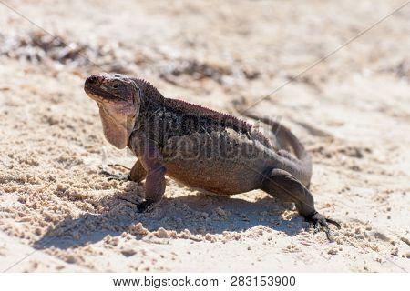 animal, fauna and nature concept - exuma island iguana in the bahamas