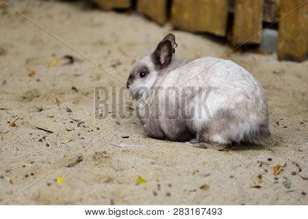 Full Body Of Smoky Grey Domestic Pygmy Rabbit. Photography Of Nature And Wildlife.