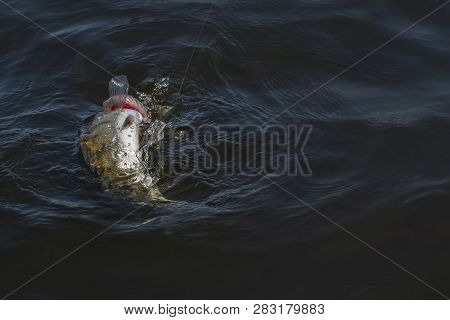 Zander Fishing. Walleye Fish Jumping With Splashing In Water