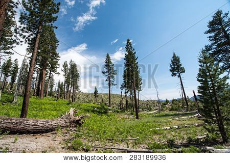 Burned Trees From A California Forest Fire In The Inyo National Forest, Near Devils Postpile Nationa