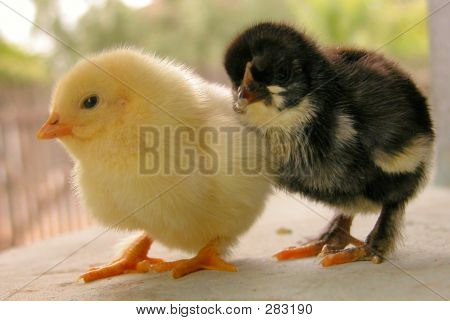 a white and a black very young chicken poster
