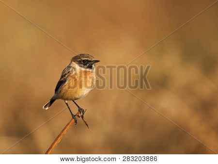 European Stonechat Perching On A Branch Against Yellow Background In Natural Surrounding, Uk.