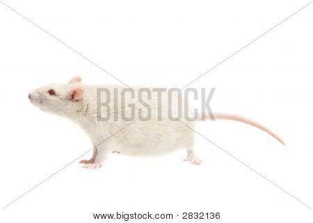 在白色背景上的白老鼠