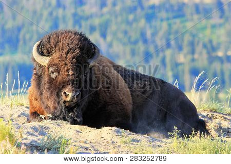 Male Bison Lying In Dust, Yellowstone National Park, Wyoming, Usa