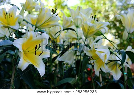 White Lily Lilies Flower In Garden.