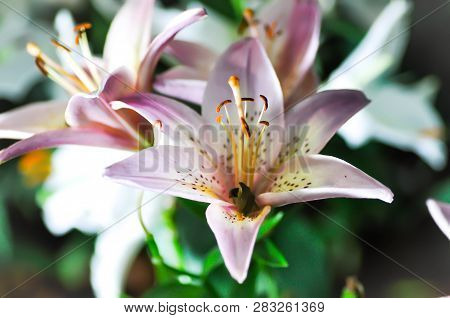 Lilly,lilly Flower Or Lilly Plant Pr Pink Lilly