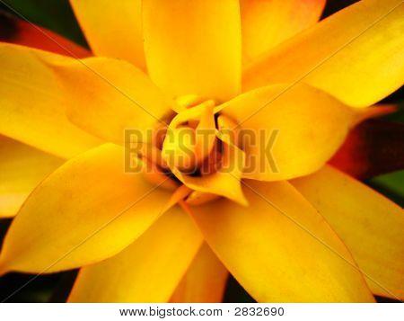 Yellow Bromelia