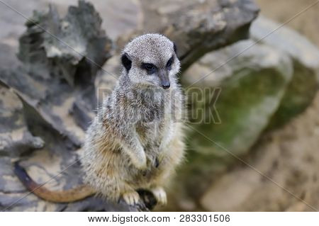 Full Body Of A Wild African Meerkat On The Tree Trank. Photography Of Nature And Wildlife.