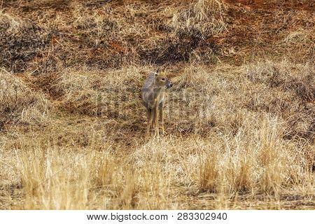 Korean Water Deer
