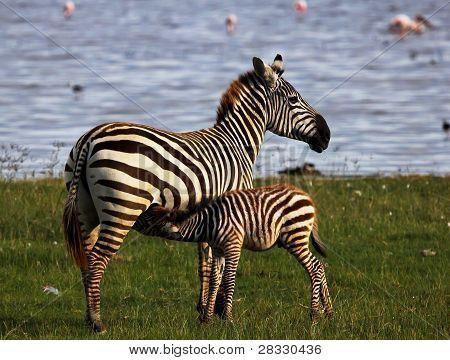 Zebra - Under mother's care