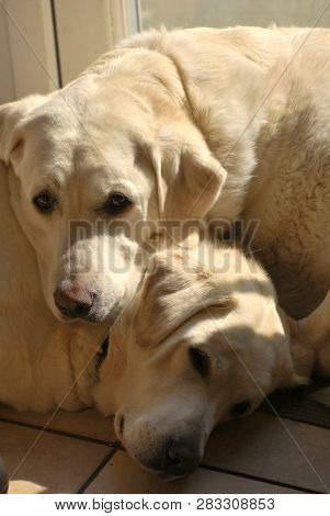 Two white labrador dogs snooze indoors on a tiled kitchen floor.   poster
