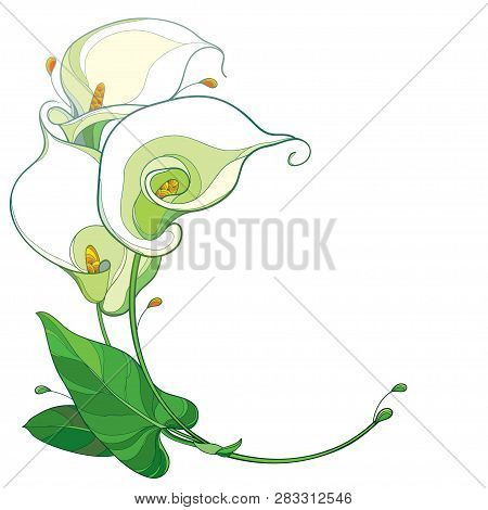 Vector Round Bouquet Of Outline Calla Lily Flower Or Zantedeschia In Pastel White With Ornate Green